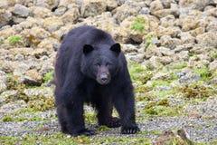 niedźwiadkowy czerń Obrazy Royalty Free