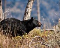 niedźwiadkowy czerń Obraz Royalty Free