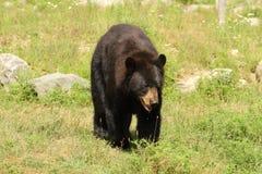 niedźwiadkowy czerń Obraz Stock