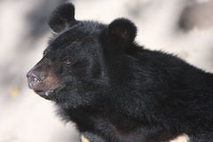 niedźwiadkowy czerń Zdjęcie Stock