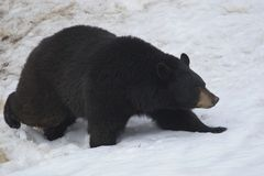 niedźwiadkowy czerń Obrazy Stock