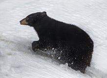 niedźwiadkowy czerń Zdjęcie Royalty Free