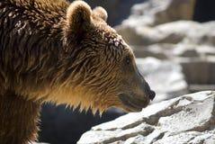 niedźwiadkowy duży brąz Obraz Royalty Free
