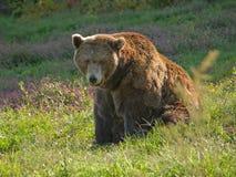 niedźwiadkowy duży brąz Zdjęcie Royalty Free