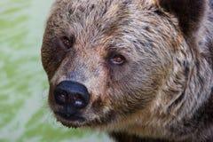 niedźwiadkowy dziki obraz royalty free