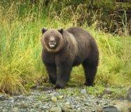 niedźwiadkowy grizzly zdjęcia stock