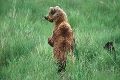 niedźwiadkowy grizzly fotografia royalty free