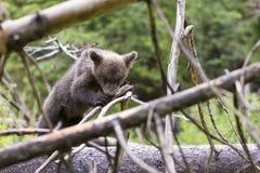 Niedźwiadkowy gryzienie na gałąź w gęstym lesie Fotografia Royalty Free