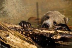 niedźwiadkowy lisiątko Fotografia Stock