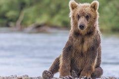 Niedźwiadkowy lisiątko Fotografia Royalty Free