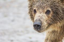 Niedźwiadkowy lisiątko Zdjęcia Stock