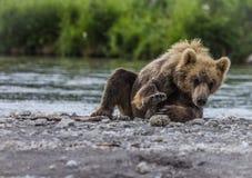 Niedźwiadkowy lisiątko Zdjęcia Royalty Free