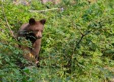 Niedźwiadkowy lisiątko Chodzi Przez Lasowego ulistnienia Obrazy Royalty Free