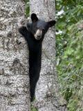 Niedźwiadkowy lisiątko w drzewie Obrazy Royalty Free