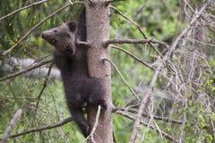 Niedźwiadkowy lisiątko w drzewny przyglądającym z powrotem Obraz Royalty Free