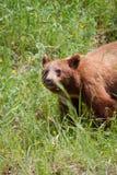 niedźwiadkowy makabryczny lato zdjęcia royalty free