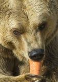 niedźwiadkowy marchwiany łasowanie Zdjęcia Stock