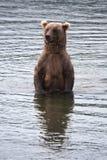niedźwiadkowy nabrzeżny przyglądający łosoś Zdjęcia Stock