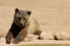 Niedźwiadkowy patrzejący przy jeden stronę Obraz Royalty Free