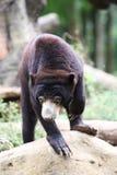 niedźwiadkowy słońce Fotografia Royalty Free