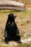 niedźwiadkowy słońce Obrazy Royalty Free