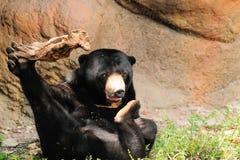 niedźwiadkowy słońce Fotografia Stock