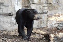niedźwiadkowy słońce Obraz Royalty Free