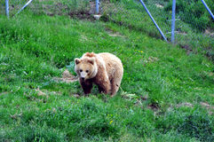 NIEDŹWIADKOWY sanktuarium blisko Prishtina dla wszystko Kosovo's prywatnie utrzymywał brown niedźwiedzi obraz stock