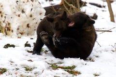 Niedźwiadkowy uściśnięcie Fotografia Royalty Free