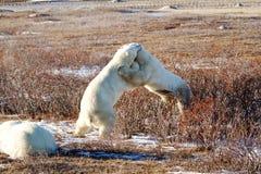 Niedźwiadkowy uściśnięcie Obrazy Stock