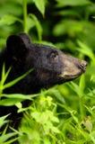 niedźwiadkowy zakończenie Obrazy Royalty Free