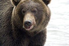 niedźwiadkowy zakończenie Obrazy Stock