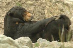 niedźwiadkowych helarctos niedźwiadkowy malayanus słońce Obrazy Stock