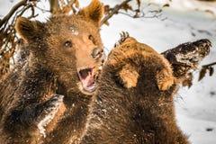Niedźwiadkowych lisiątek bawić się Obraz Stock
