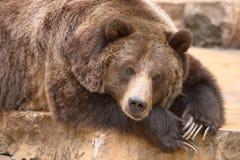 niedźwiedź śpi Zdjęcia Stock