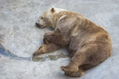 niedźwiedź śpi Obraz Stock