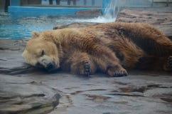 niedźwiedź śpi biegunowy zdjęcie stock