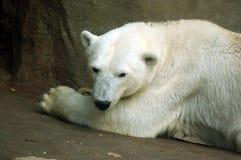 niedźwiedź Zdjęcia Stock
