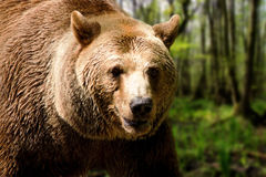 Niedźwiedź Zdjęcia Royalty Free