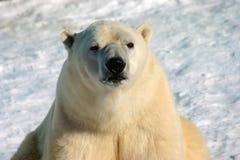 niedźwiedź biegunowy Obraz Stock