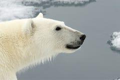 niedźwiedź biegunowy zdjęcia royalty free