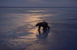 niedźwiedź biegunowy fotografia stock