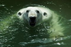 niedźwiedź biegunowy portret Zdjęcia Royalty Free