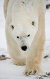 niedźwiedź biegunowy portret Zakończenie Kanada obrazy stock