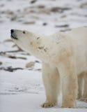 niedźwiedź biegunowy portret Zakończenie Kanada obraz royalty free