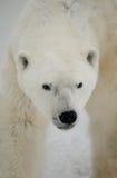 niedźwiedź biegunowy portret Zakończenie Kanada obraz stock