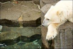 niedźwiedź biegunowy zoo Obrazy Stock