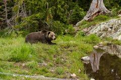 Niedźwiedź Blisko do Wodny Kłaść W dół obraz royalty free
