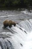 niedźwiedź brązową ryb patrzy skoku Zdjęcia Royalty Free