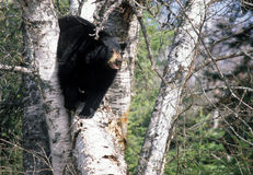 niedźwiedź drzewo Fotografia Stock